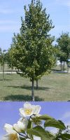Corylus colurna - Baumhasel, türkische Nuß