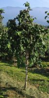 Corylus colurna - Turkish Filbert