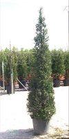 Cupressocyparis leylandii - Leyland Cypress