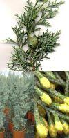 Cupressus arizonica `Fastigiata` - Arizona-Zypresse