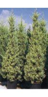Cupressus arizonica Fastigata Aurea - Goldene Säulen-Zypresse