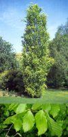 Fagus sylvatica - Rot-Buche