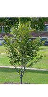 Fagus sylvatica `Asplenifolia` - Feder-Buche, Schlitzblättrige B