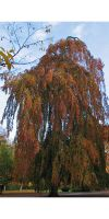 Fagus sylvatica `Pendula` - weeping beech