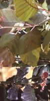 Fagus sylvatica `Dawyck Purple`- Rote Säulenbuche