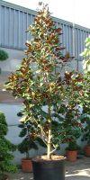 Magnolia grandiflora `Gallisoniensis`- Immergrüne Magnolie