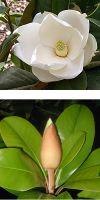 Magnolia grandiflora `Gallisoniensis`