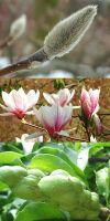 Magnolia soulangeana - Tulpen-Magnolie, in Sorten