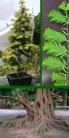 Metasequoia glyptostroboides - Urwelt-Mammutbaum, Sumpfzypressen