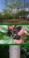 Morus alba - Maulbeerbaum