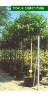 Morus platanifolia - Mulberry