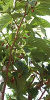 Morus x platanifolia - Platanenblättriger Maulbeerbaum