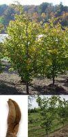 Parrotia persica - Eisenholzbaum, Hochstamm
