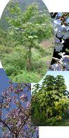 Paulownia tomentosa - Blauglockenbaum