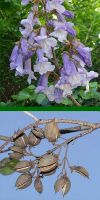 Paulownia tomentosa - Empress Tree, Foxglove Tree, Kawakami