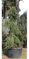 Picea abies `Inversa Pendula `- Gemeine Hängefichte
