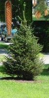 Picea abies  - Norway Spruce