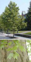 Platanus acerifolia - Gewöhnliche Platane
