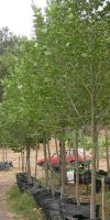 Platanus orientalis - Orientalische Platane