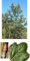 Populus alba - Silber-Pappel (Stammbusch)