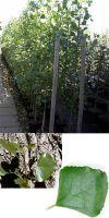 Populus nigra `Italica`