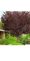 Prunus cerasifera - Blutpflaume, Zierpflaume (Hochstamm)
