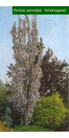 Prunus serrulata `Amanogawa`- Säulenförmige Zierkirsche