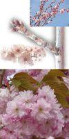 Prunus serrulata - Japanische Blütenkirsche (Busch)