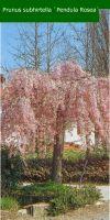 Prunus subhirtella `Pendula Rosea`- Hänge-Zierkirsche