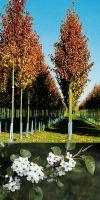 Pyrus calleryana `Chanticleer`- Chinesische Wildbirne Stammbusch