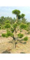 Pinus contorta Latifolia Bonsai - Drehkiefer Bonsai