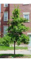 Quercus palustris - Sumpf- Eiche, Spree-Eiche
