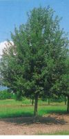 Quercus robur - Stieleiche, Sommereiche, Deutsche Eiche