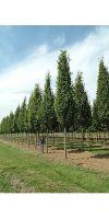 Quercus robur `Fastigiata`- Säulen-Eiche, Hochstamm