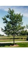 Quercus rubra - Northern red oak