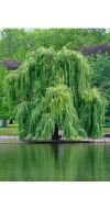 Salix alba  `Tristis` - Willow