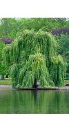 Salix alba `Tristis`- Trauerweide