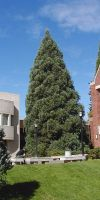 Sequoiadendron giganteum - Riesenmammutbaum