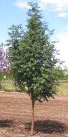 Sorbus aucuparia - Gemeine Eberesche, Vogelbeere