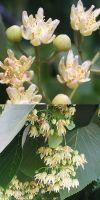 Tilia americana - Amerikanische Linde