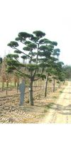 Pinus nigra austriaca Bonsai - Österreichische Schwarzkiefer