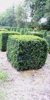 Buxus sempervirens arborescens - Würfel