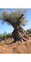 Olea europea - Olivenbaum XXL