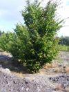 Parrotia persica - Eisenholzbaum