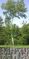 Populus alba - Silber-Pappel (Hochstamm)