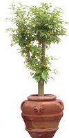 Citrus Fortunella japonica - Kumquat