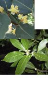 Laurus nobilis - Lorbeerbaum
