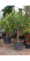 Citrus clementine - Clementine, Mandarine