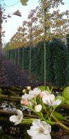 Pyrus calleryana `Chanticleer`- Chinesische Wildbirne Hochstamm
