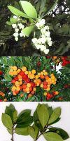 Arbutus unedo - Erdbeerbaum